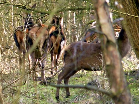 Deer on Brownhills common